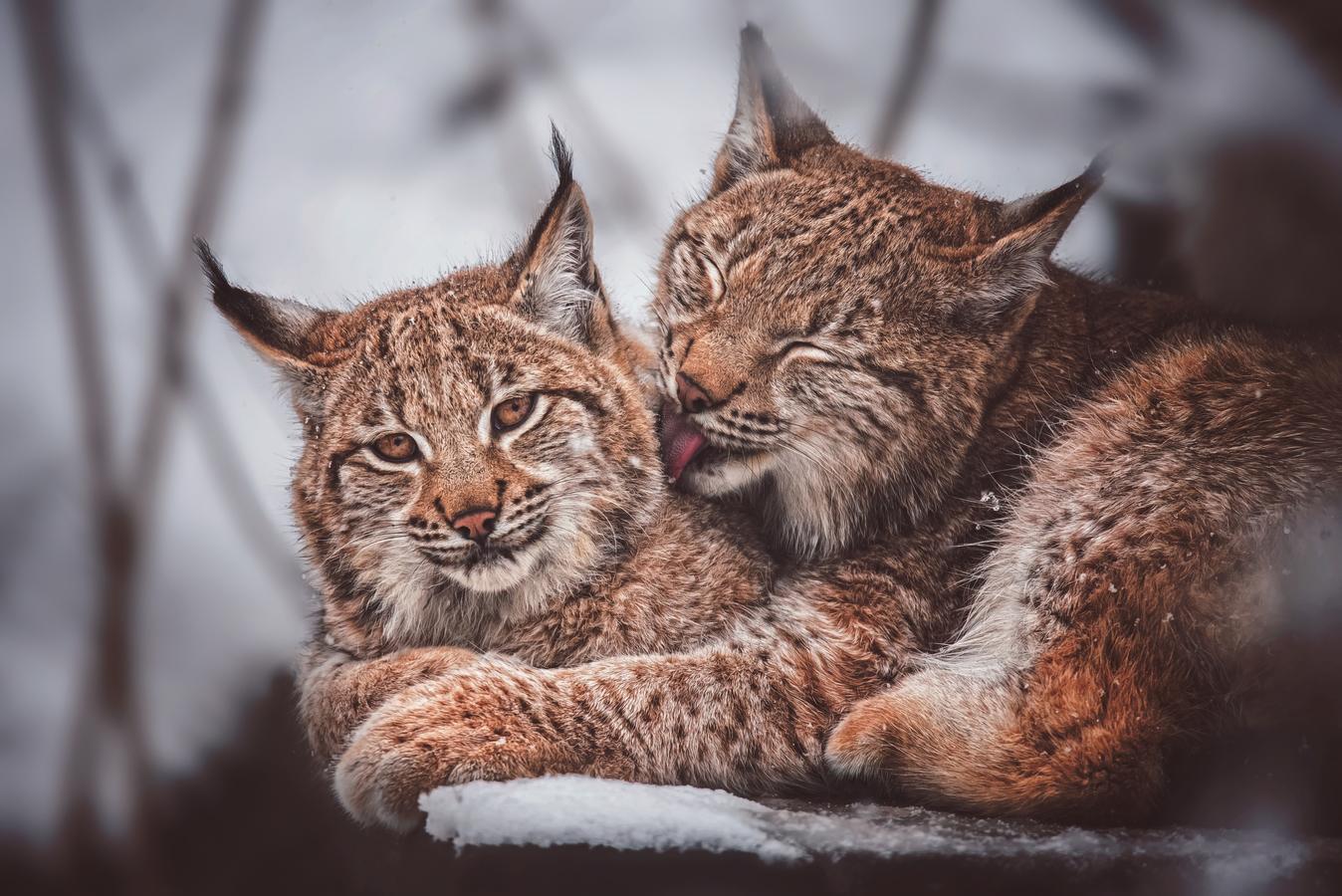 Rys ostrovid karpatský ( Lynx lynx carpathicus )
