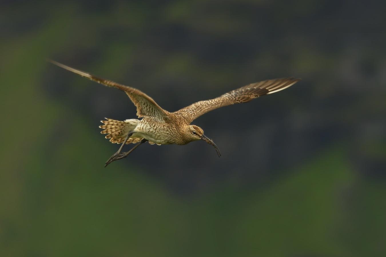 obrázky z islandské přírody 15 aneb ... letovka s bahňákem