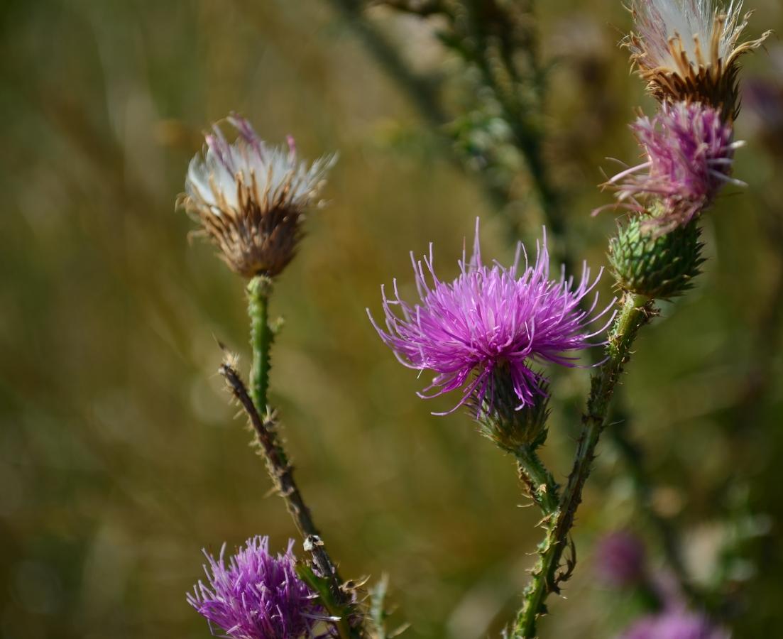 Bodlák v květu