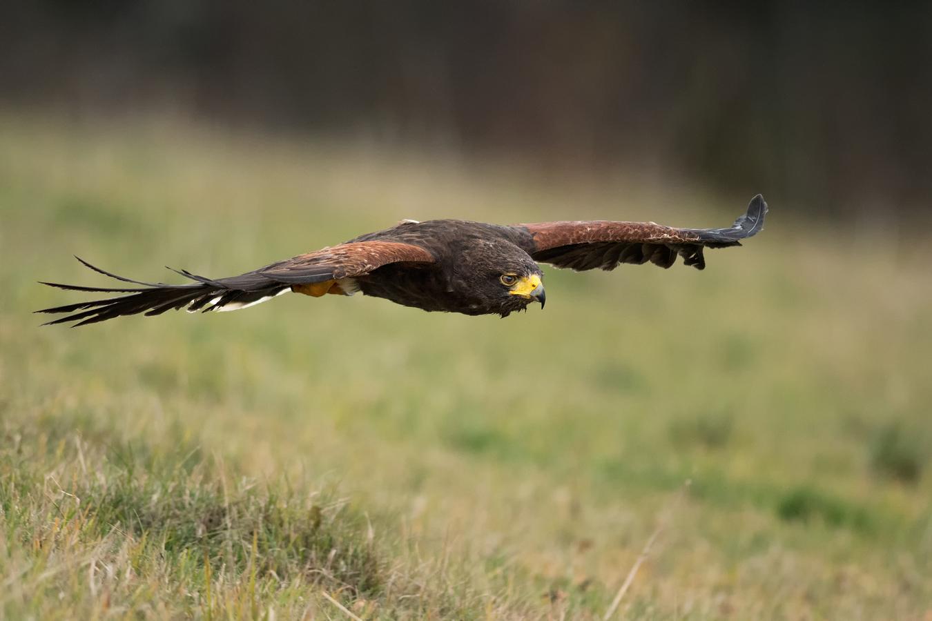 Harris Hawk - Pohled lovce