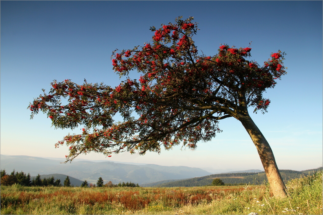 krušnohorské bonsaje