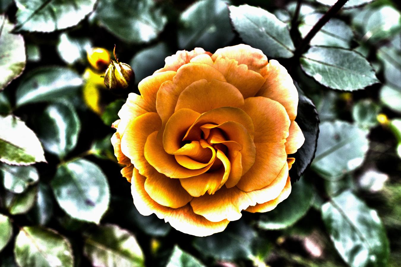 Surrealistická růže