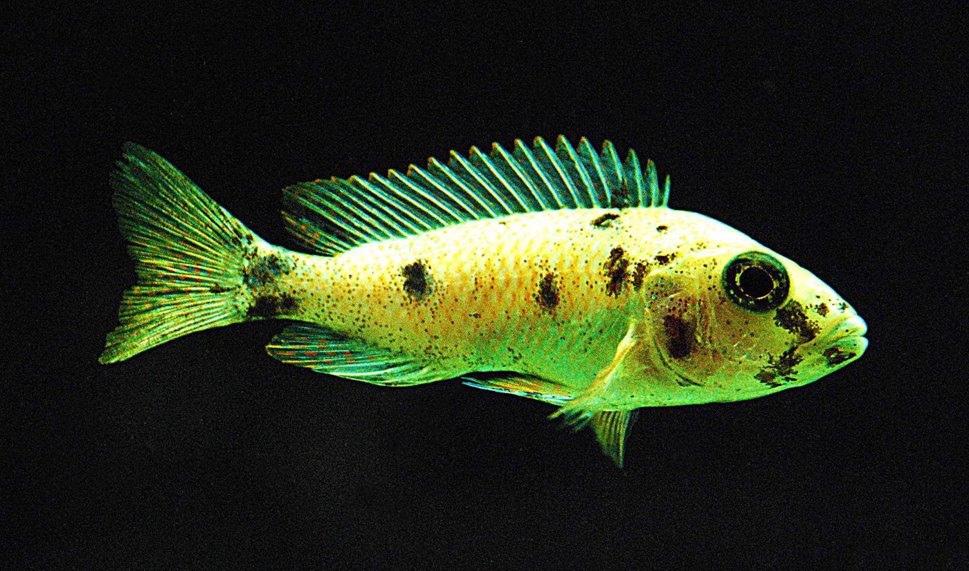 Tlamovec černoploutvý (Labidochromis caeruleus)