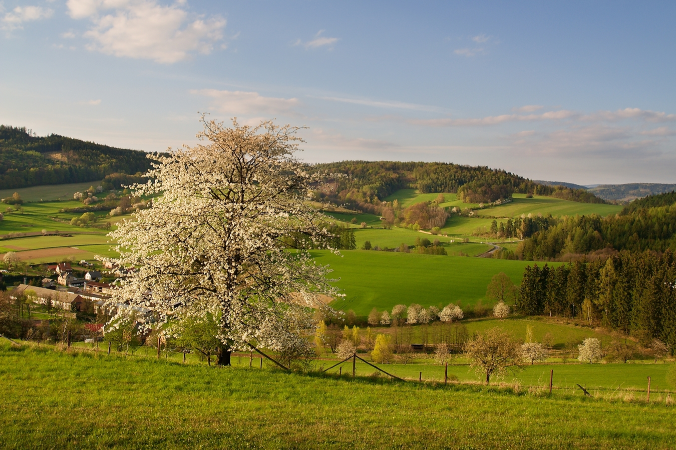 Už kvetou třešně