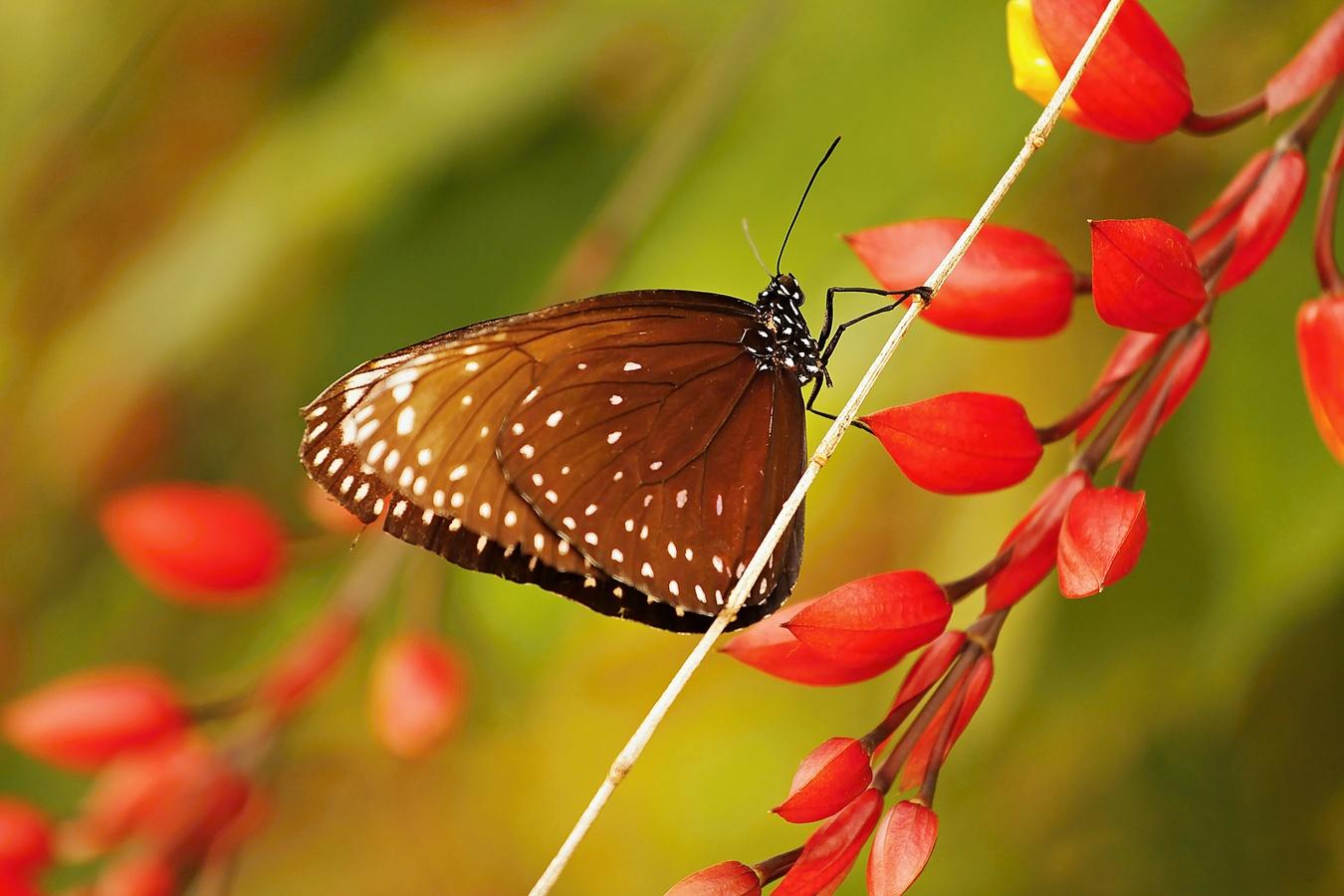 ,,motýl II,,