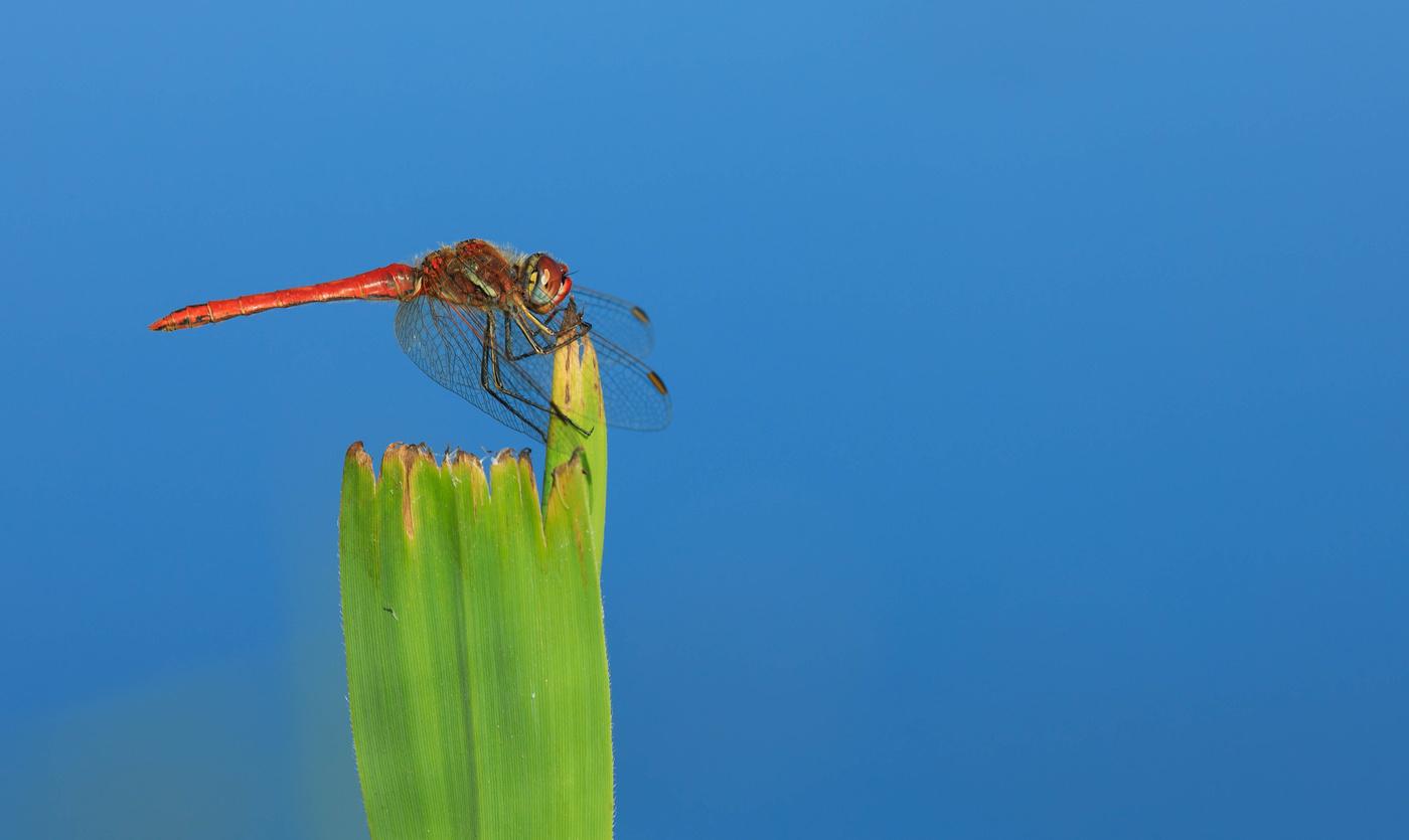 Vážka jarní