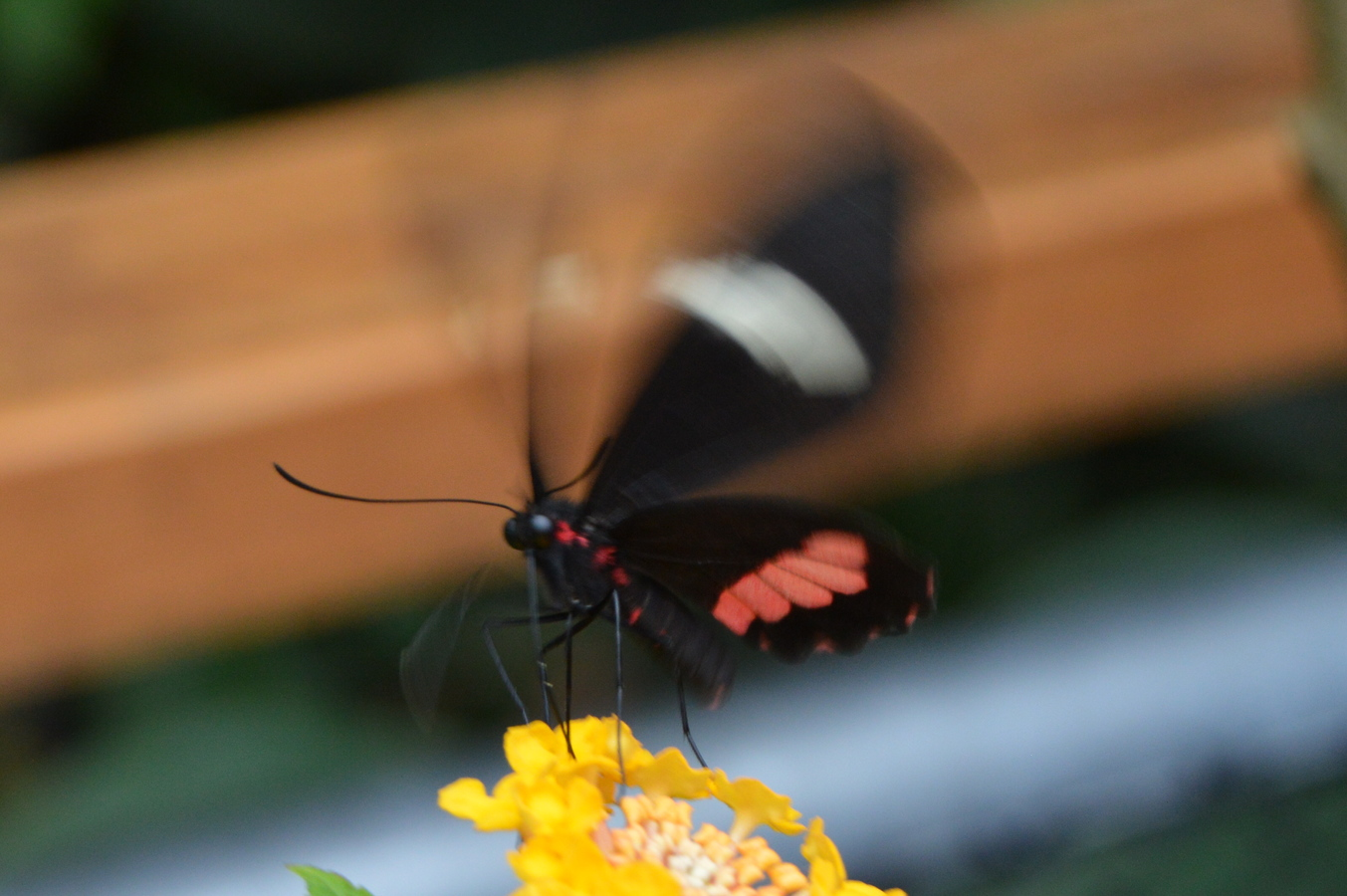 motýlek z blízka