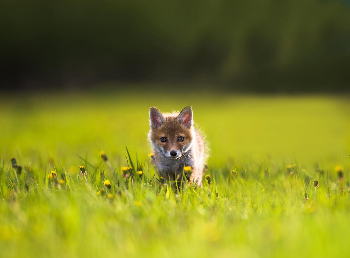 Puppy Fox
