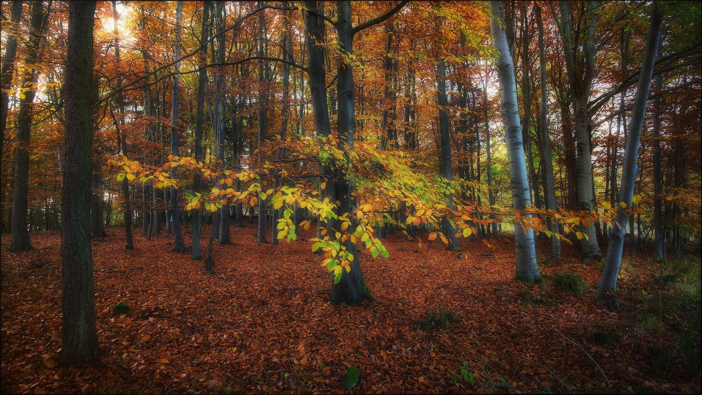 Bukový podzimní