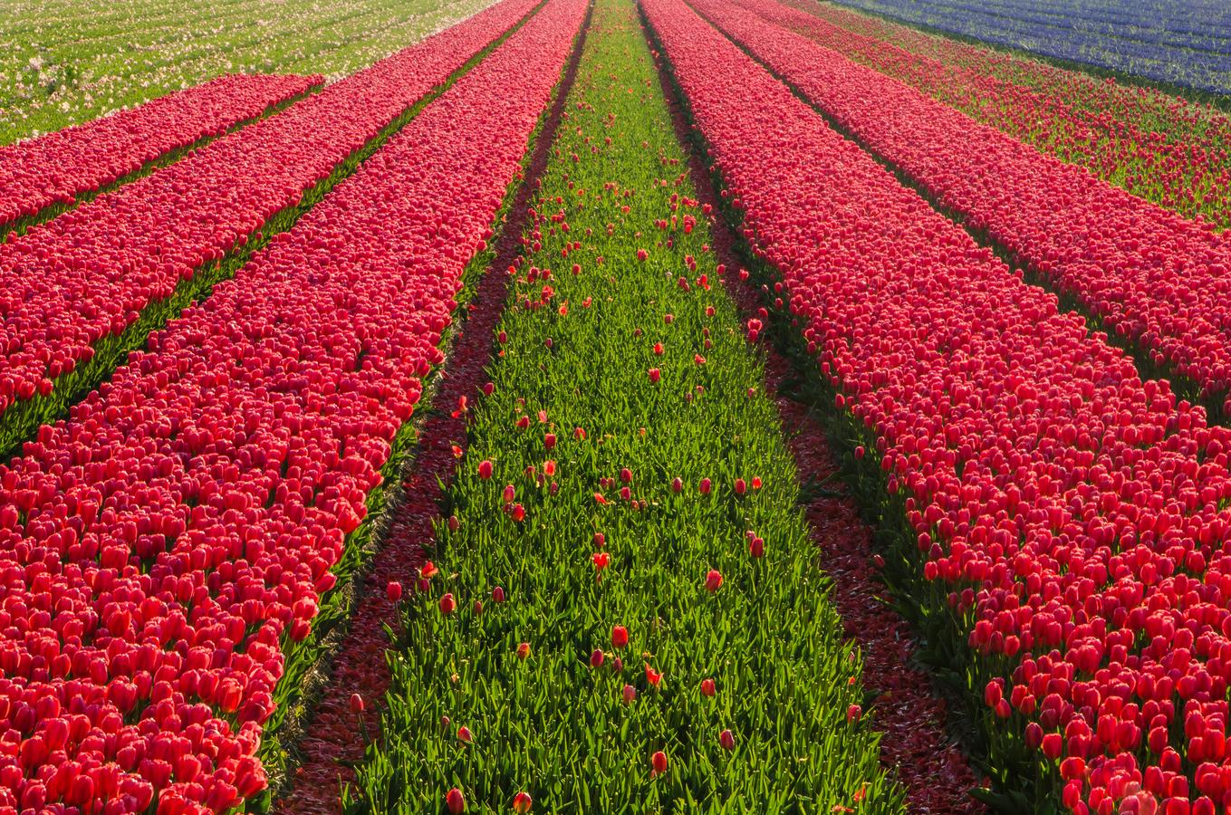 Holandský koberec