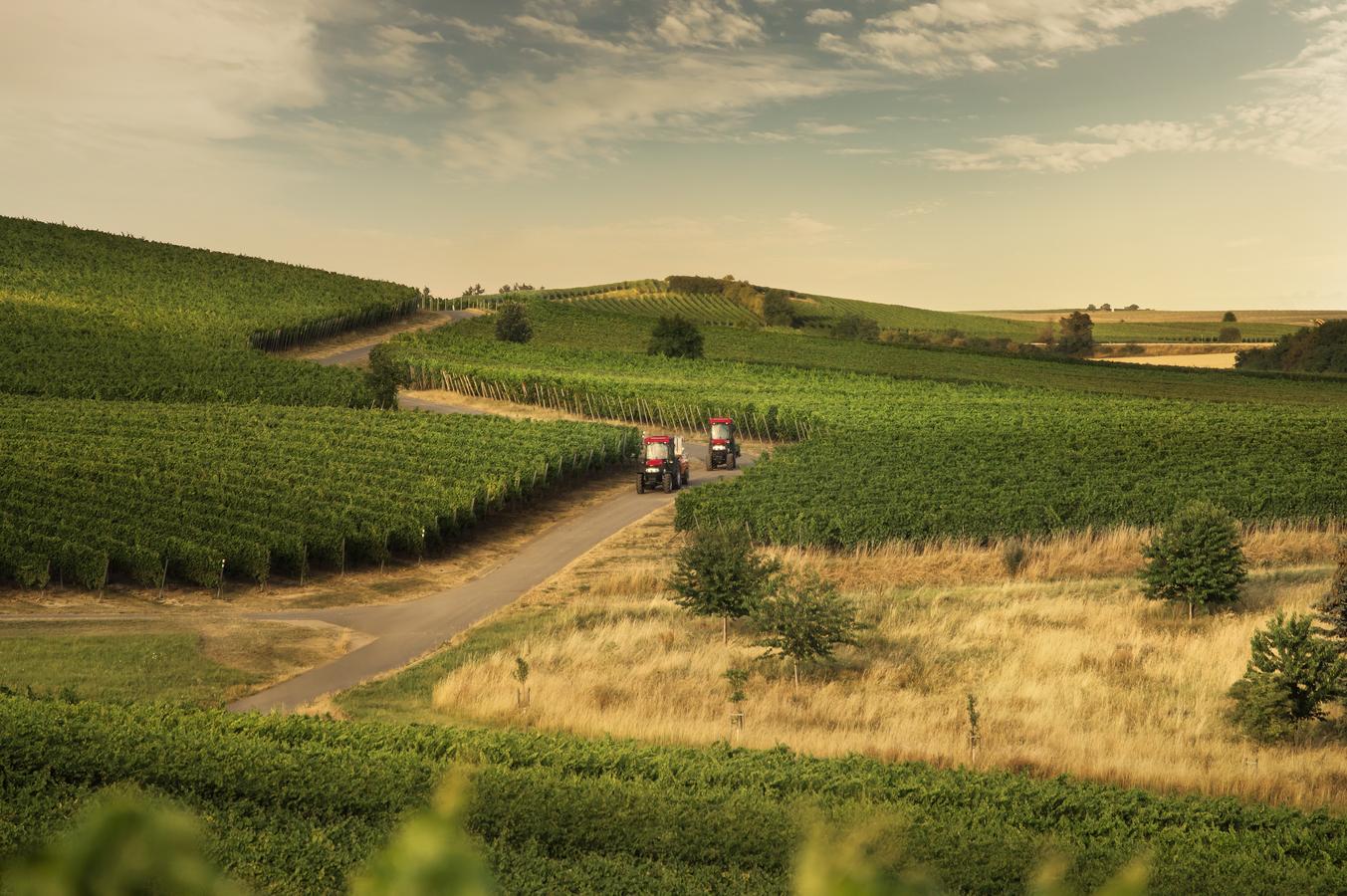 Podvečerní atmosféra mezi vinohrady
