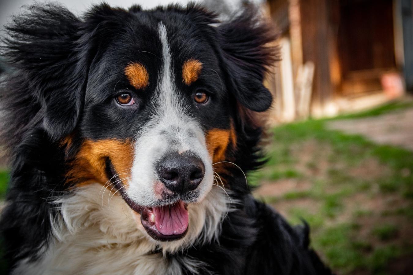 Bernský salašnický pes Endy