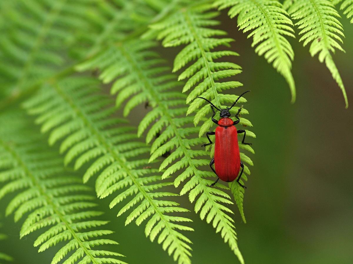 Červenáček ohnivý