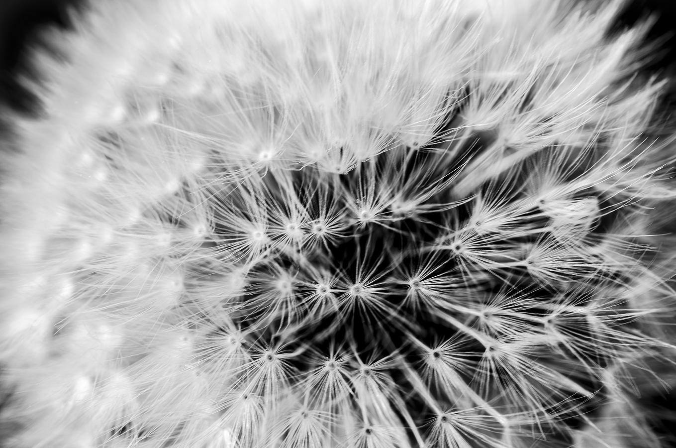 Černobílý pohled Pampelišky