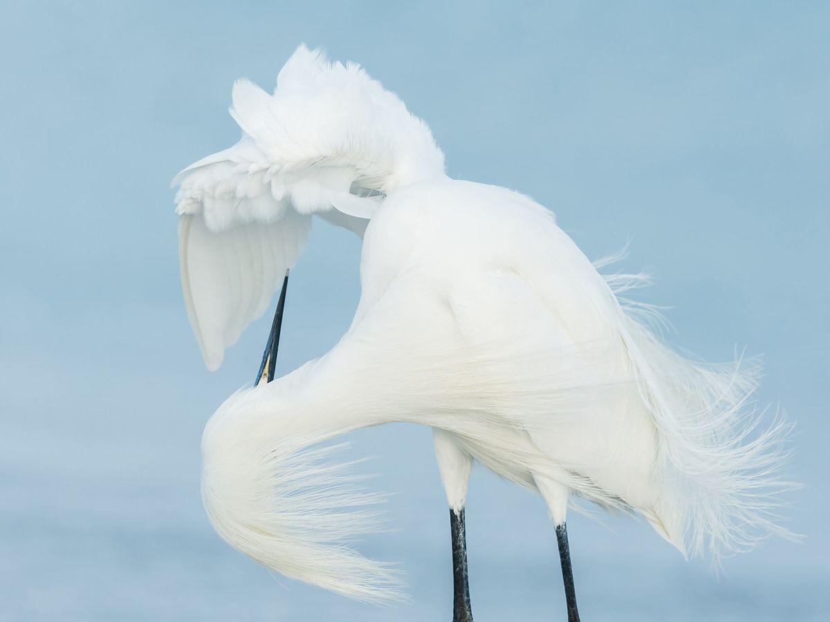 Volavka bělostná (Egretta thula), Florida
