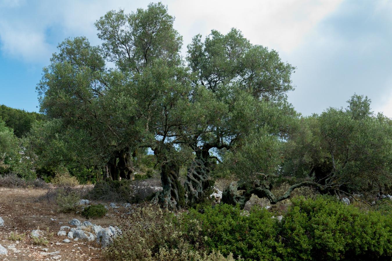 Olivovník (4)