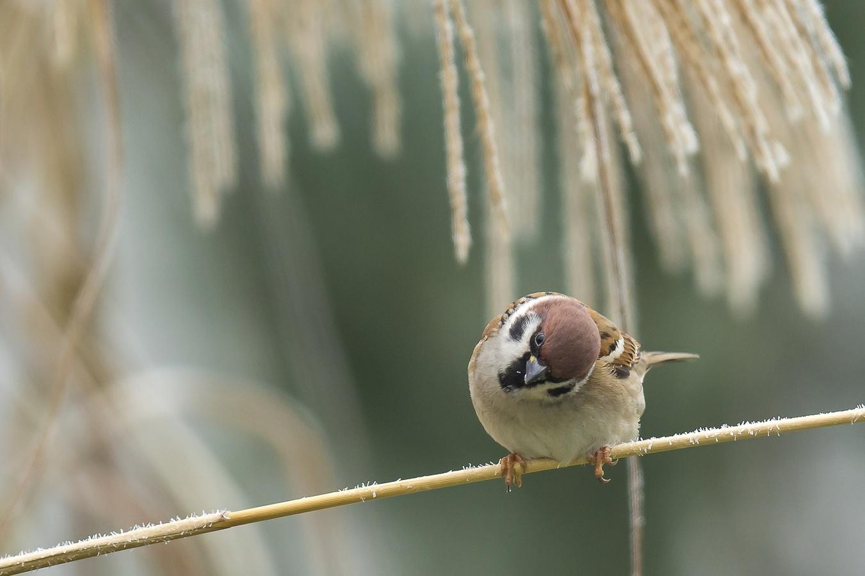 zvědavej vrabčák