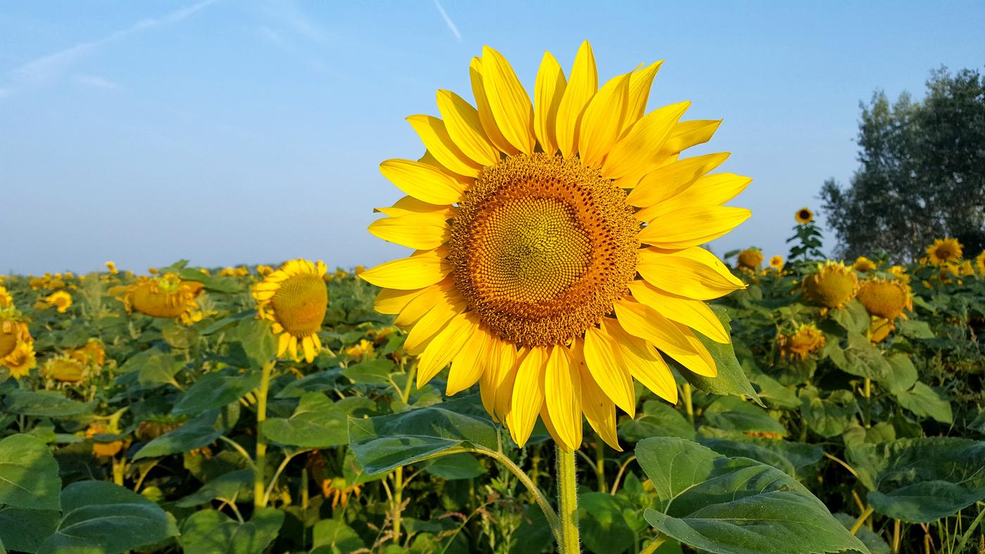 Tak jako slunečnice každý den...