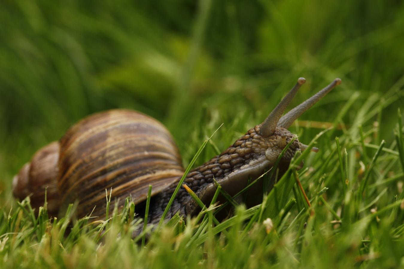 hlemýžď běží po trávě