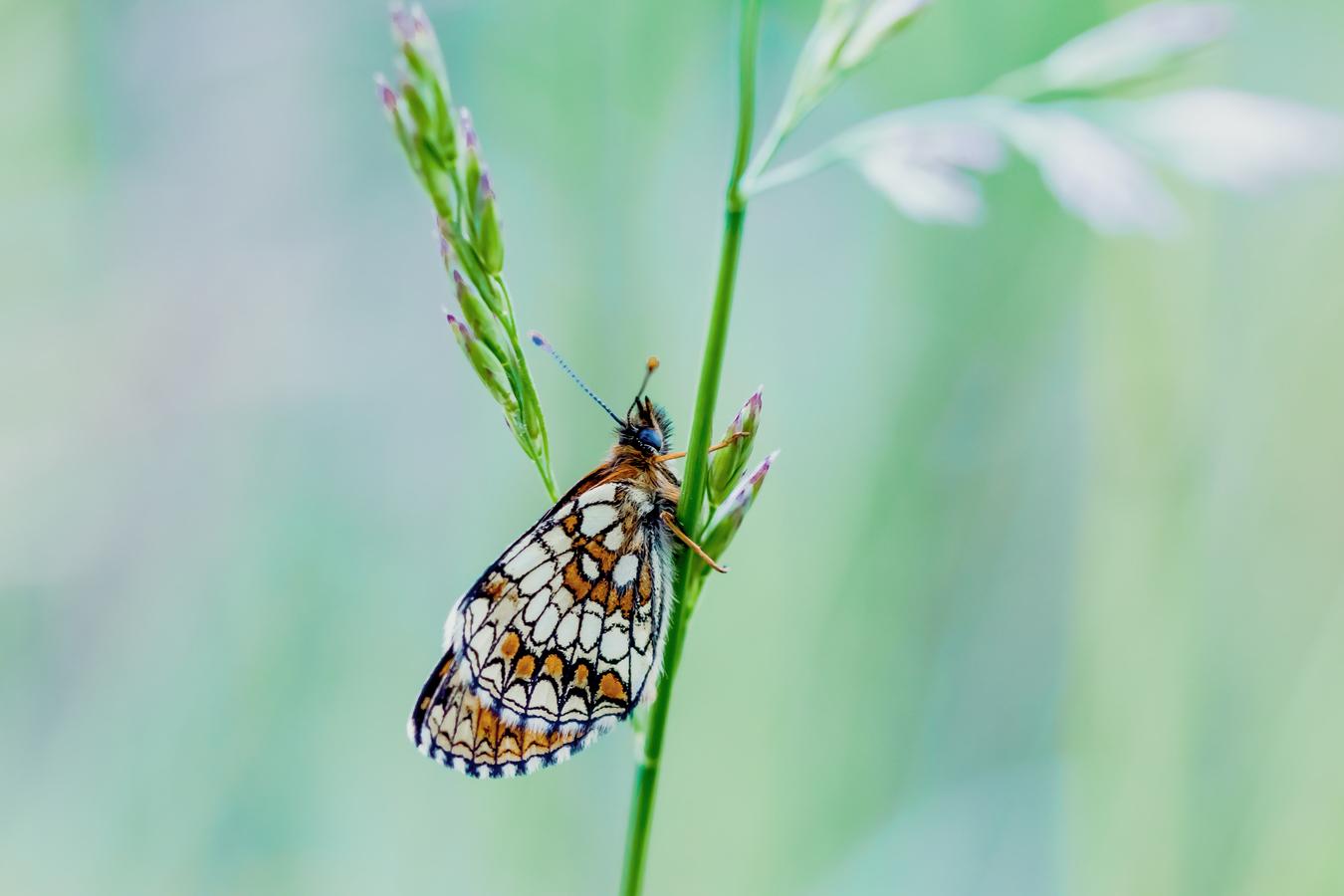 Heath fritillary - Hnědáses jitrocelový