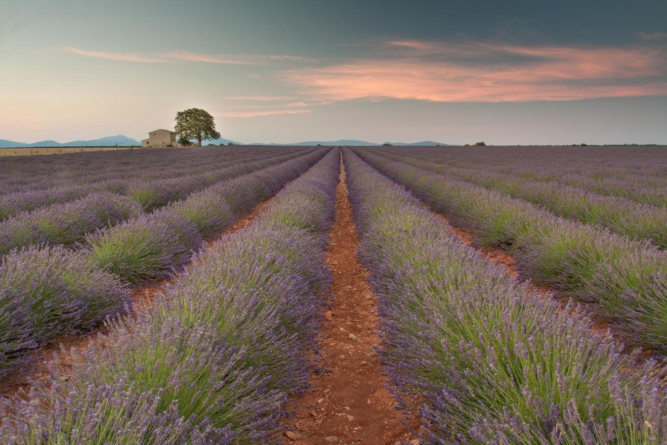 svítání nad levandulovým polem