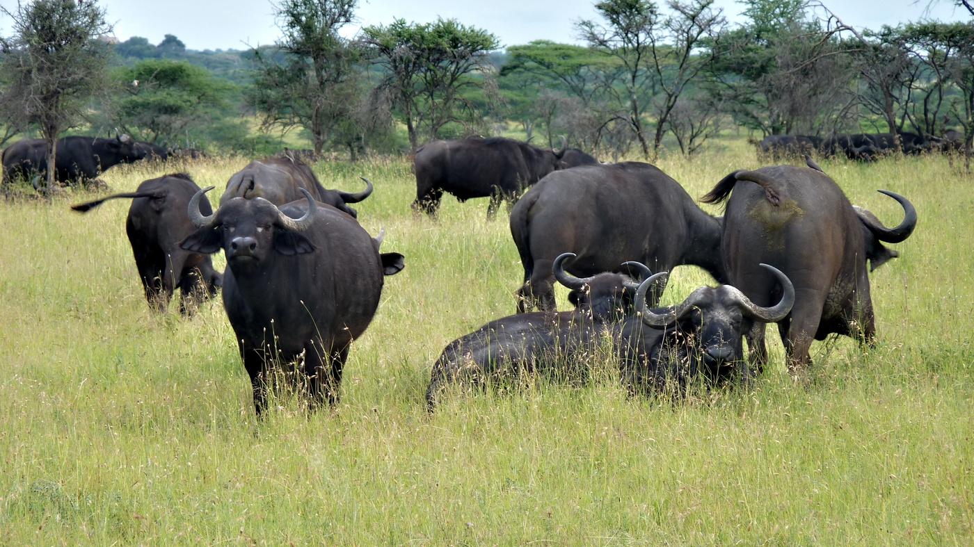 Na hlídce, buvol africký (kapverdský)