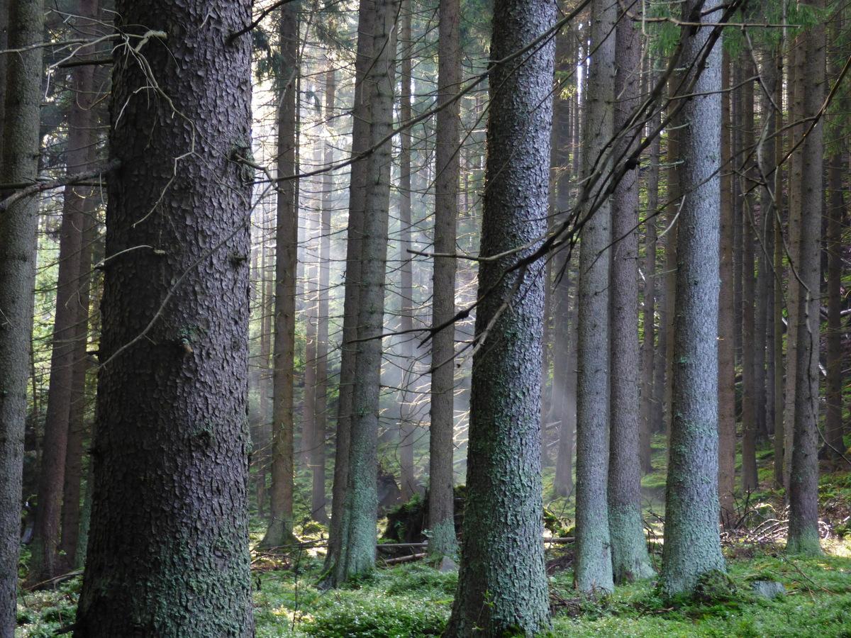 lesní záře