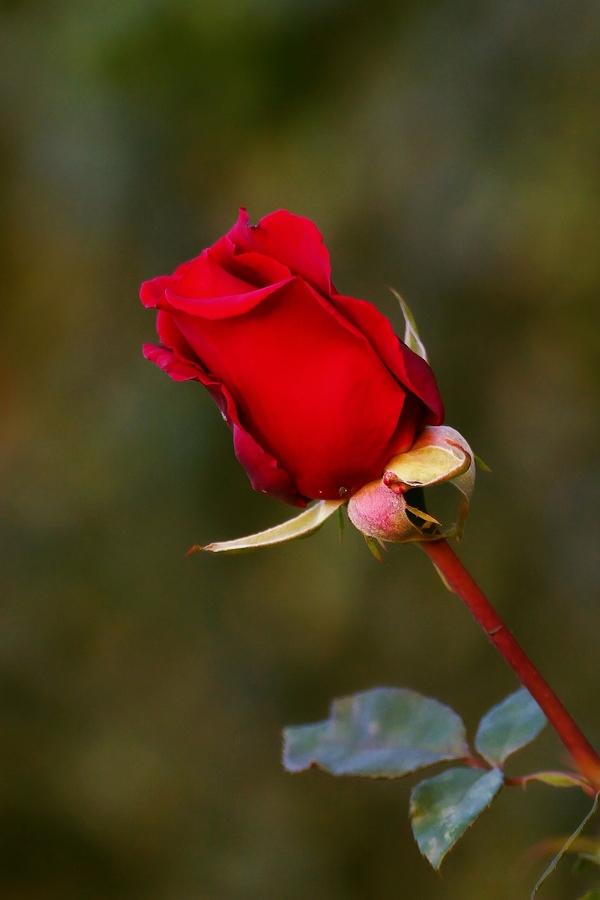 Růže v zámecké zahradě