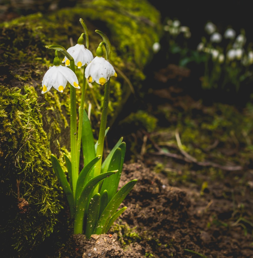 Jarní Bledule