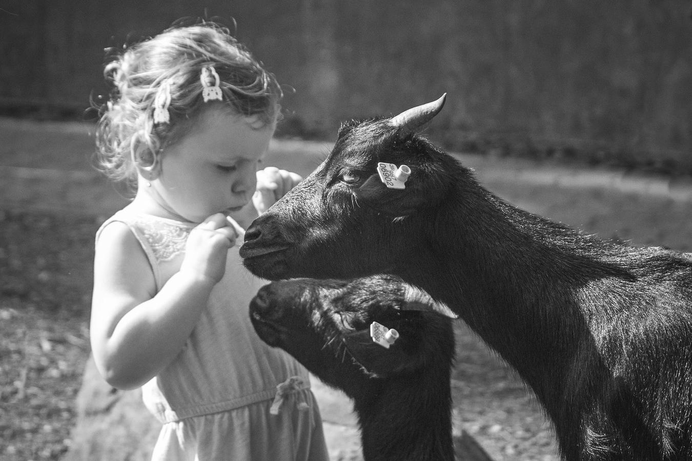 zvídavé kozy