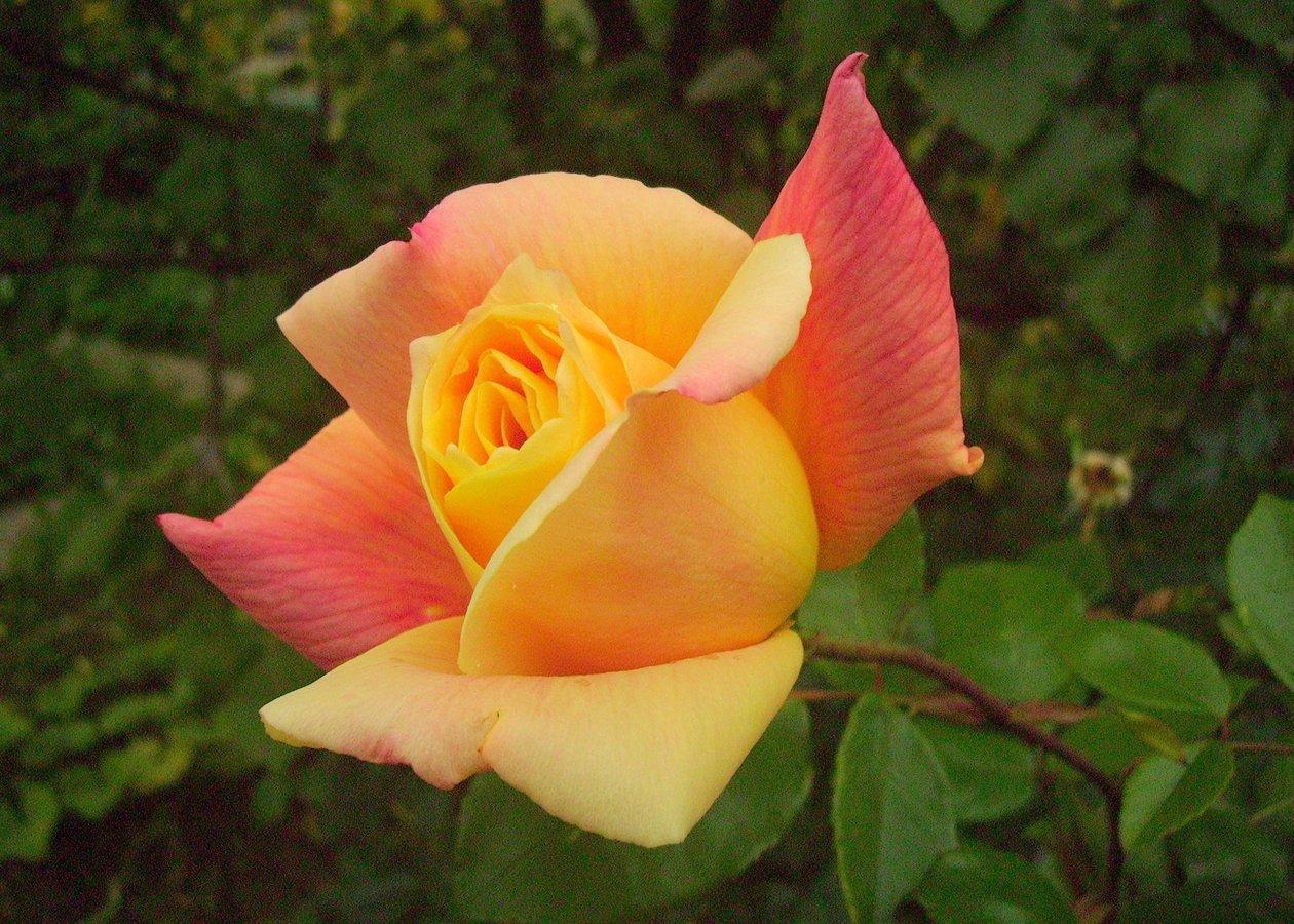 Moje nejmilejší růže