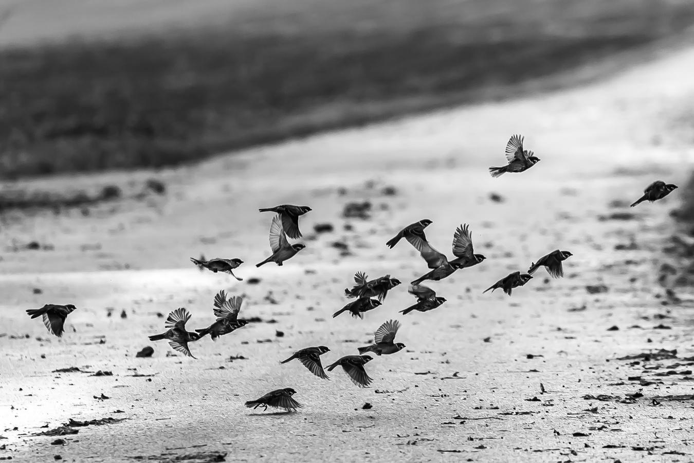 Prchající vrabci