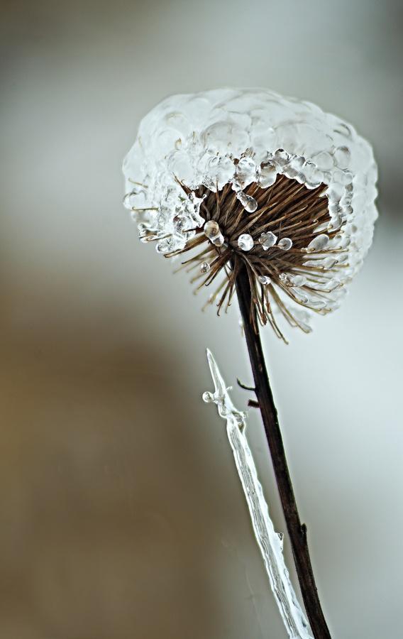 Bodliak v ľadovom zajati.