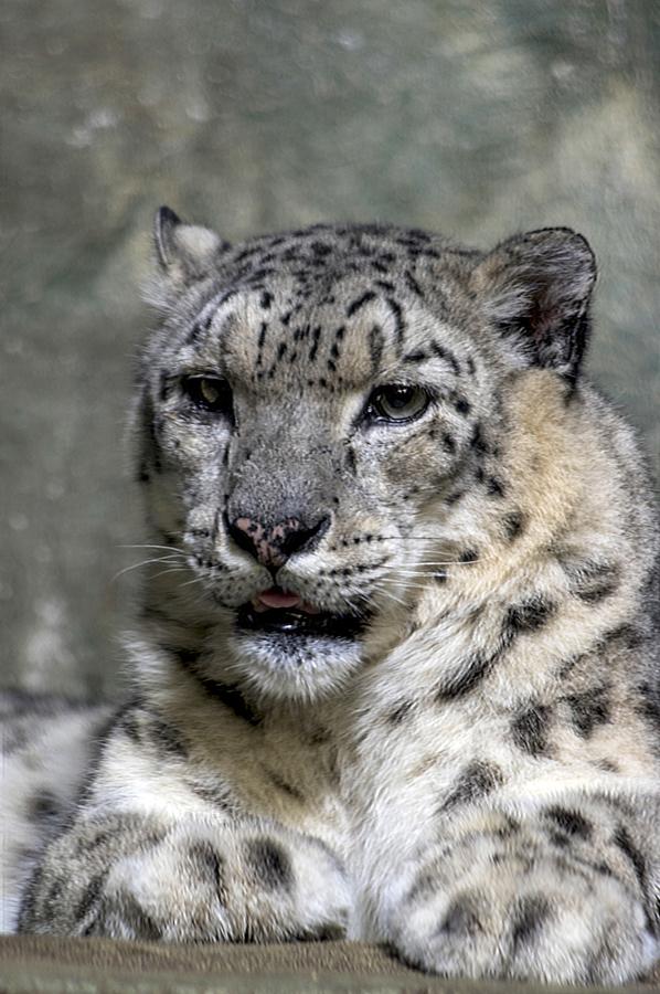 Irbis (Panthera uncia)