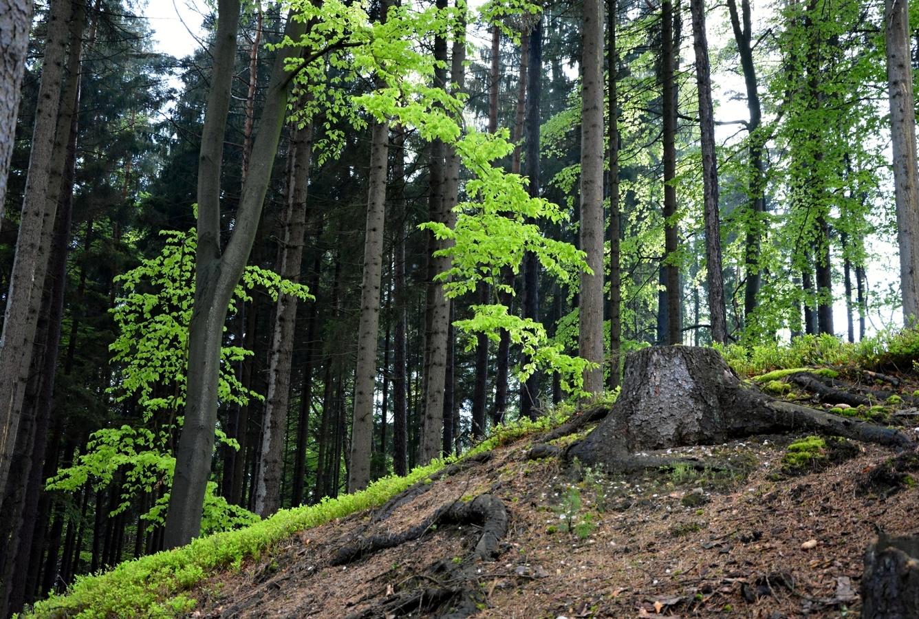 Pařez v lese :-)