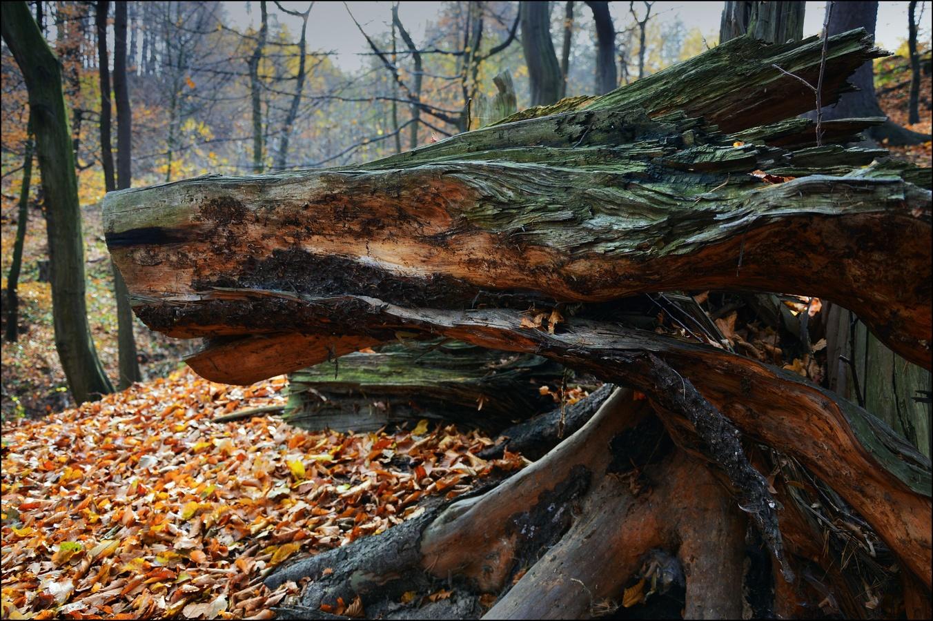 Šelma lesní