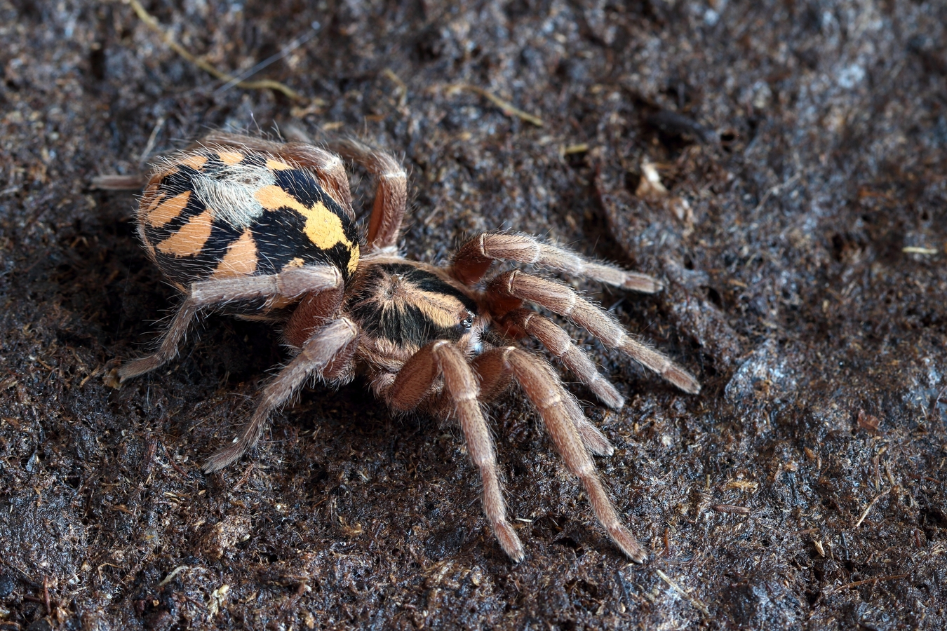 Colombian tarantula