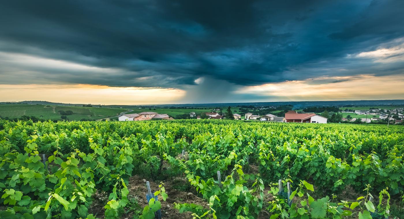 Bouřlivé ráno na vinici