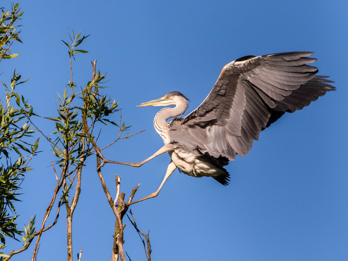 Trénink přistání čerstvě létající volavky
