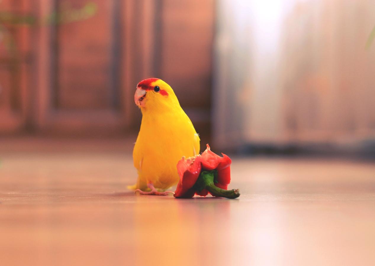 Kakariki rudočelý
