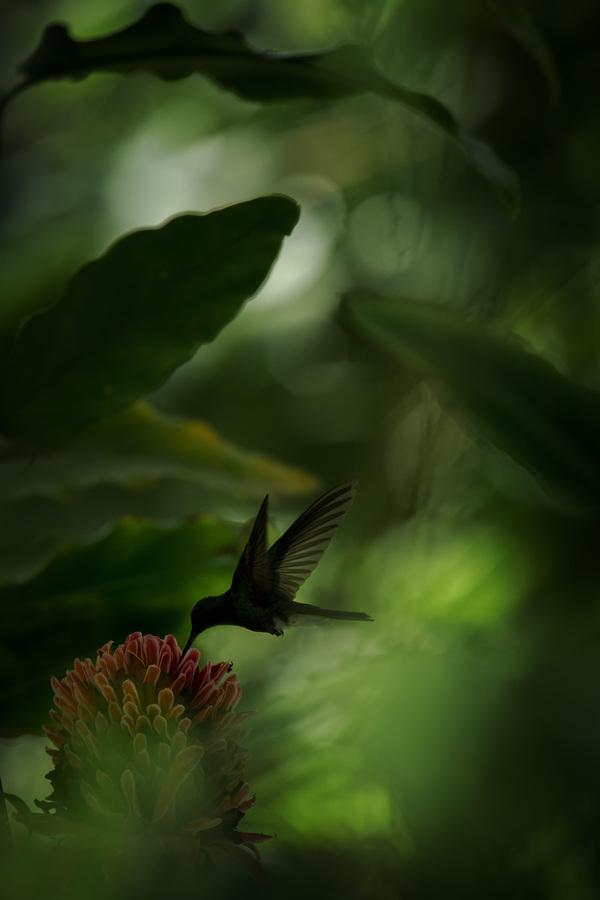 White-vented plumeleteer