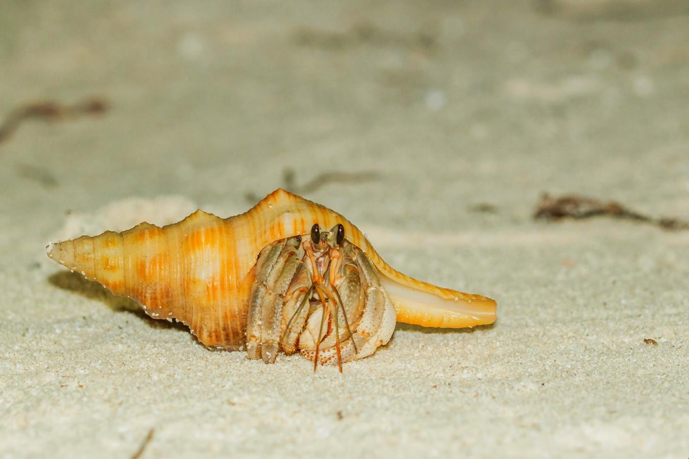 Krab poustevníček