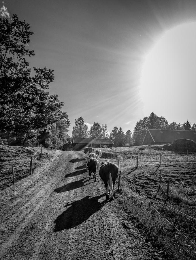 Slunce, seno a krávy