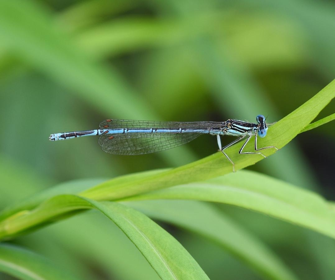 Šidélko brvonohé - Platycnemis pennipes - sameček