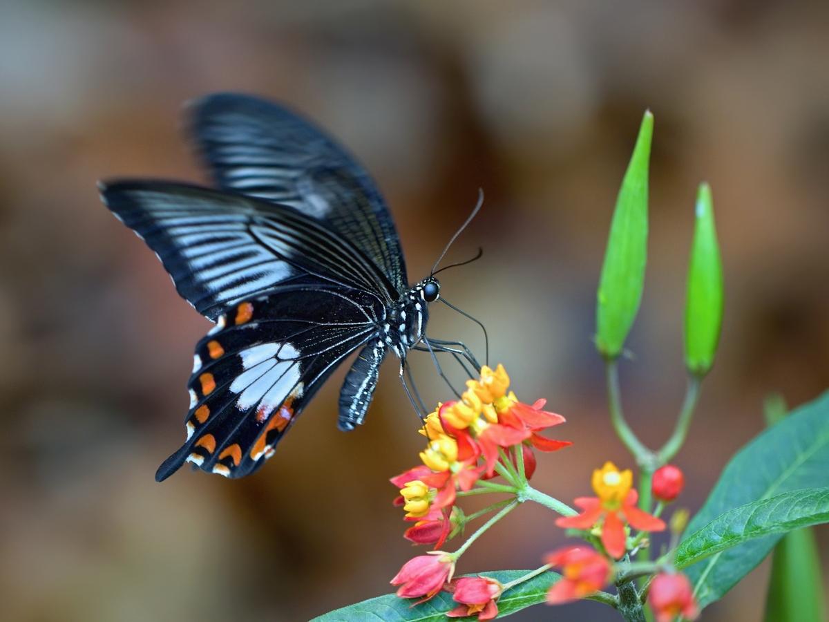 Papilio memnom