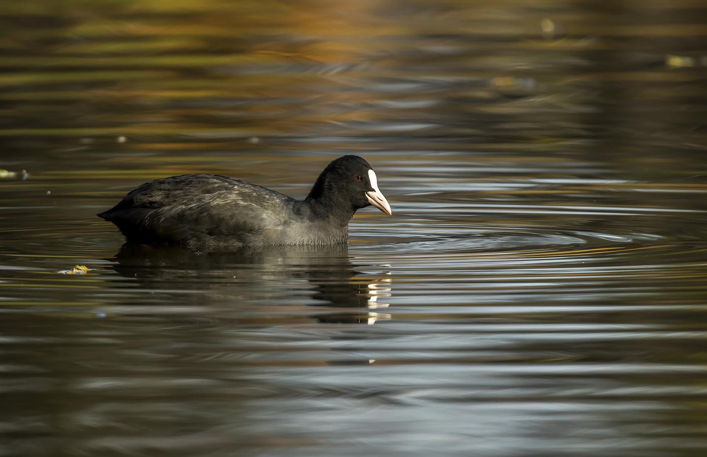 Lyska černá v lehce podzimním provedení