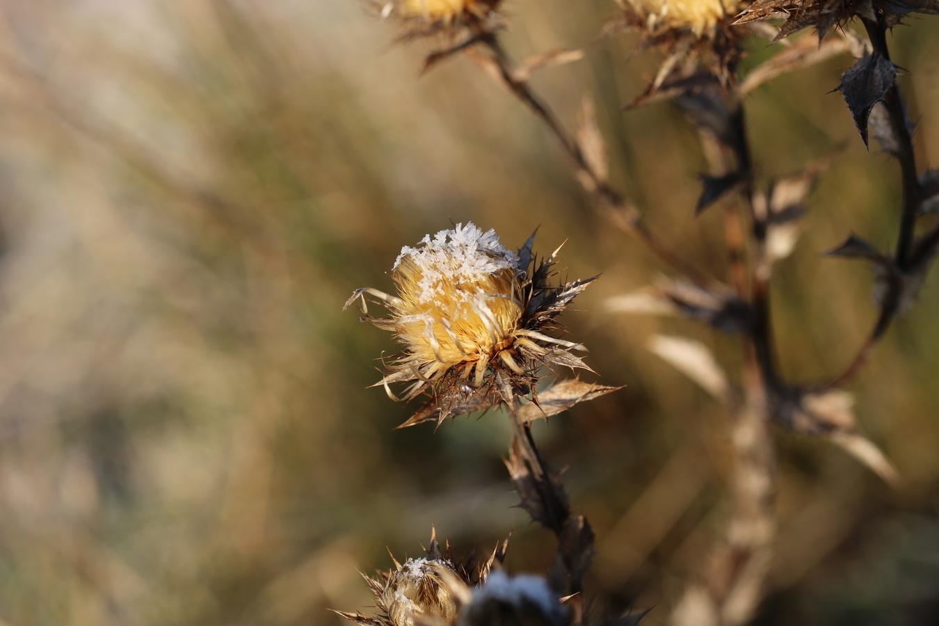 mrazivé květy