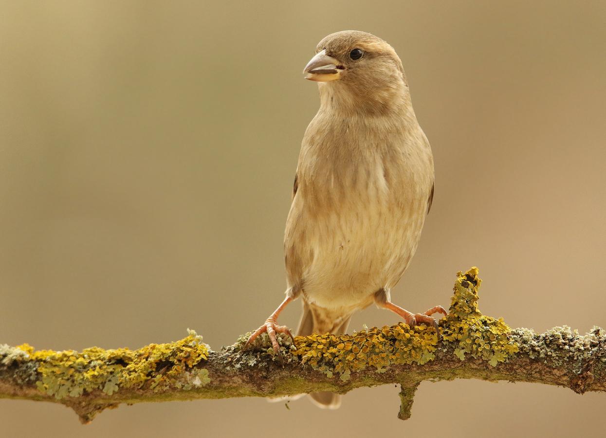 Vrabec domácí - Samička