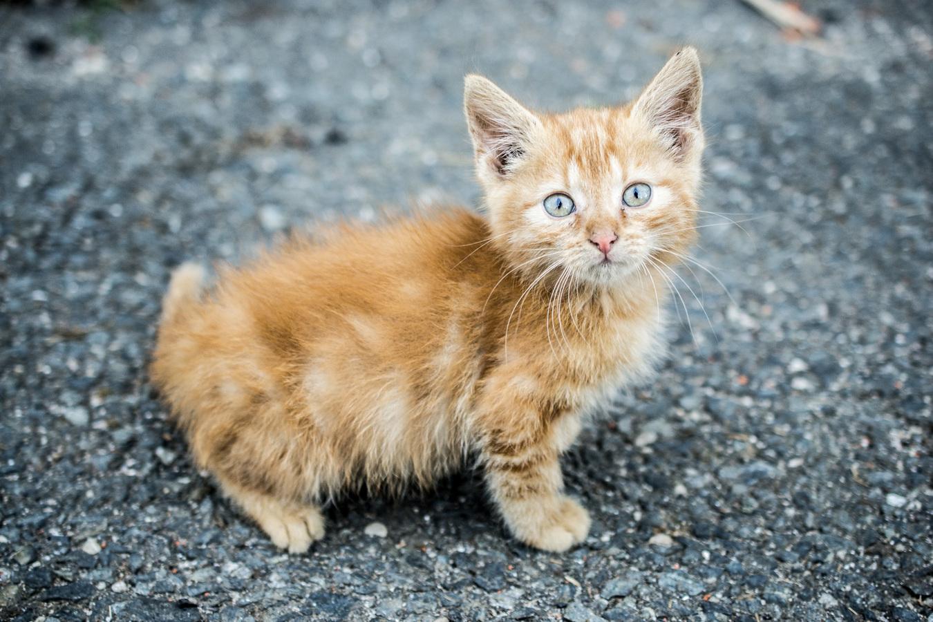 Vesnické kotě