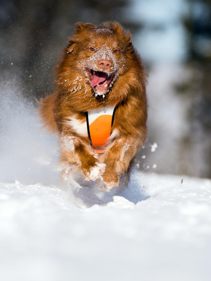 sněžný pes